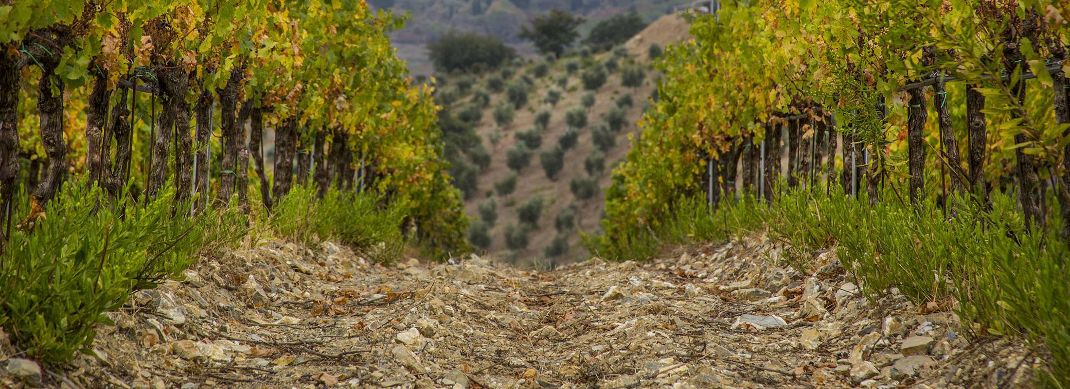 vigne-della-toscana-fattoria-di-magliano
